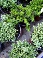 Tymianek - Thymus vulgaris