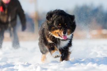 Australian Shepherd dog runs in the snow