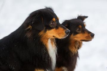 portrait of two Australian Shepherd dogs in snow