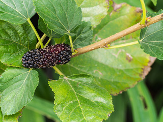The Mulberry Fruit