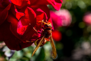 Dangerous wild wasp on a red flower in summer
