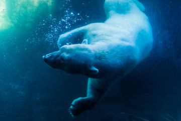 Foto op Plexiglas Ijsbeer Polar Bear Diving