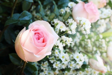 beautiful rose with blur white flowers background