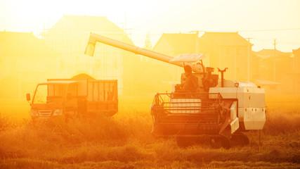 combine harvester working in ripe rice field near village