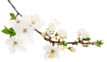 Cherry flowers on white.