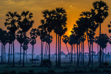 Silhouette of paddy and sugar palm sunset phetchaburi Thailand
