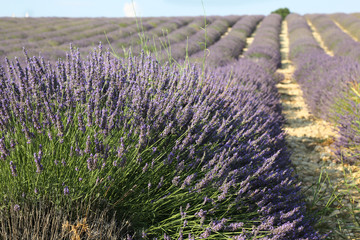 lavender field  at sunny day in France