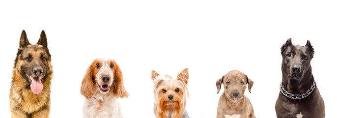 Portrait of five dogs together, closeup, isolated on white background