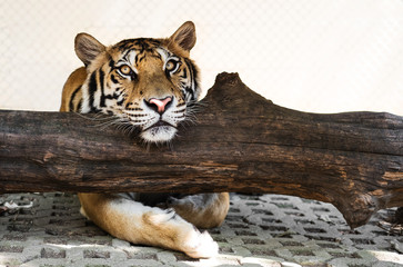 Tiger relaxing on trunk, looking at camera