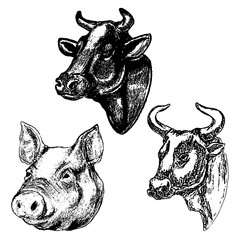Hand drawn cow and pig heads isolated on white background. Desig