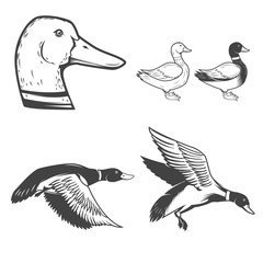 Set of wild ducks icons isolated on white background. Duck hunti