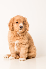Toller pup
