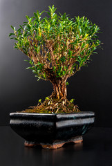 Bonsai in a ceramic pot isolated on black background