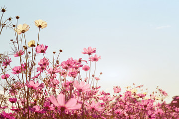 Wall Mural - Pink of cosmos flower field. Sweet and love concept - vintage nature background