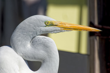 Egret watching the pelicans fight for a fish
