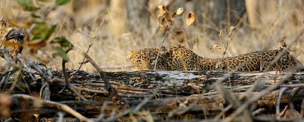 Leopard hiding behind tree trunk, Pench National Park