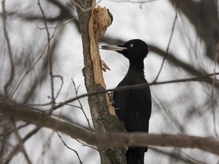 Black woodpecker licking tree