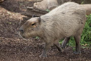 Walking Capybara