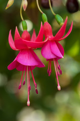 Fuchsia flower grows in the northern part of Thailand especially on the mountain area which has colder weather