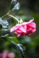 Portrait of flower. The best presents for women this is rose. Picture of nature. Wildlife by the outdoors. Environment.