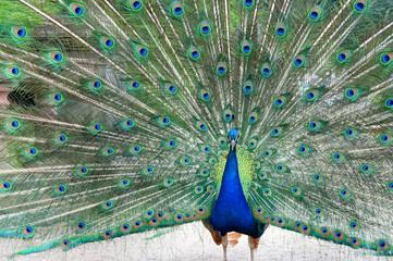 Beautiful peacock in the garden