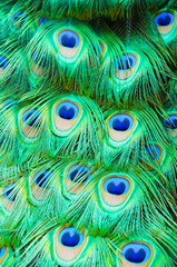 Detail of peacock feathers on bird.