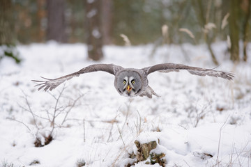 Fototapete - Flying great grey owl in winter