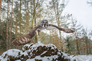 Fototapete - Departure of great grey owl. Wide closeup shot