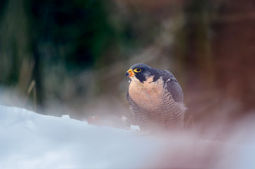 Fototapete - Peregrine Falcon in magic colorful winter forest