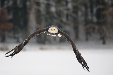 Fototapete - Flying bald eagle - Majestic symbol of the USA