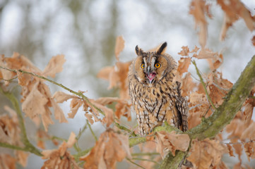 Wall Mural - Shouting long-eared owl on tree branch