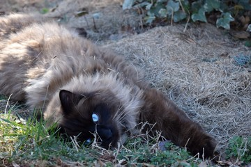 Blue-eyed Rag-doll cat lounging on grass