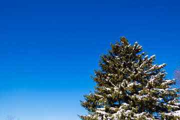 Big Snowy Pine Tree With a Beautiful Blue Sky.