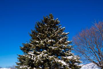 Big Snowy Pine Tree With a Beautiful Blue Sky.