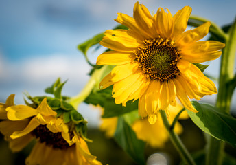 Closeup image of Yellow sunflower