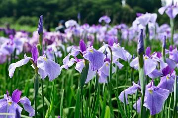 Fond de hotte en verre imprimé Iris 神楽女湖の花菖蒲
