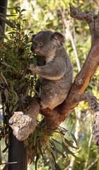 Canvas Prints Koala bear Phascolarctos cinereus