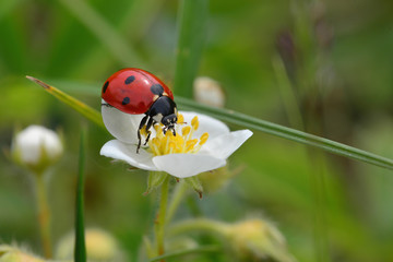 Ladybug on flower wild strawberry