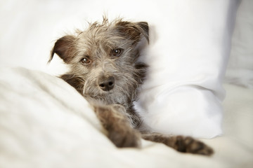 Sleepy Dog in Luxury Bed With Satin Sheets