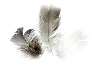 bird feather on a white background as a background for design