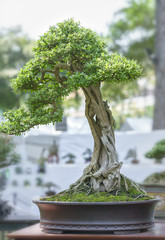 Green bonsai tree in a pot plant in the shape of the stem is shaped artisans create beautiful art in nature