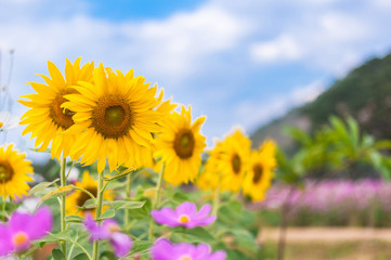 Sunflowers field and cosmos flower with mountain background and blue sky in summer spring time.