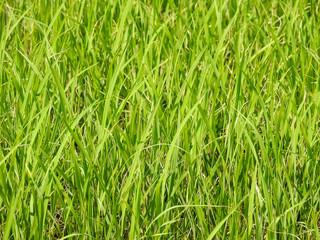 Rice leaf background