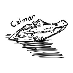 vector illustration sketch hand drawn with black lines of caiman head