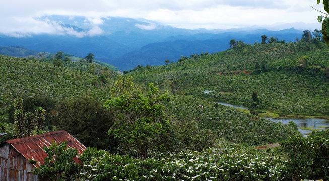 wide coffee plantation in blossoms season