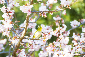 Mejiro, also called Japanese white-eye, and flowers of Kanzakura which is one of subspecies of cherry trees.