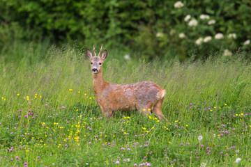 Young roebuck standing in meadow