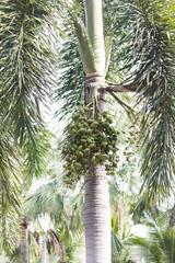 Fruits on a palm tree