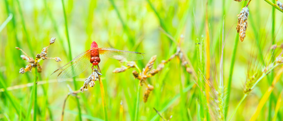 Environment concept banner background with red dragonfly resting on a straw, copyspace