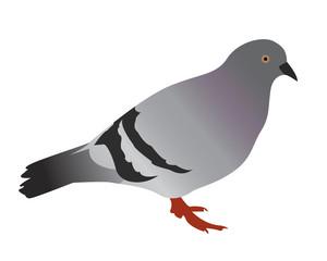 disegno vettoriale piccione